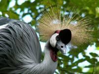 koronás daru / crown crane