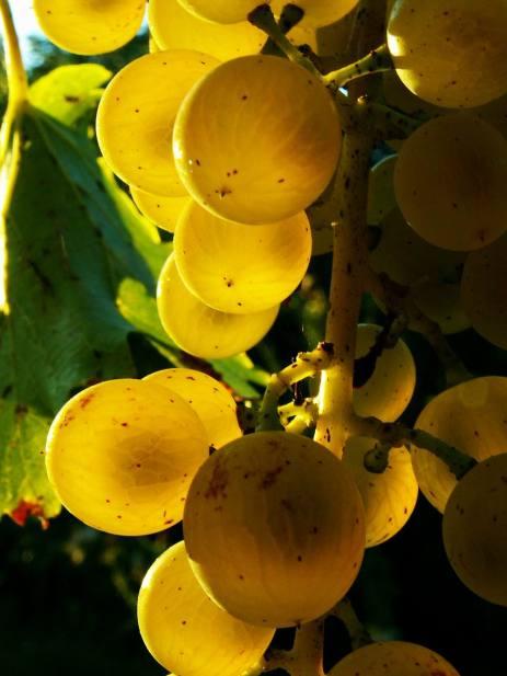 szőlő / grape